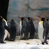 King penguins are pretty copyright Karissa Cole 2014