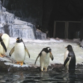 Penguins photograph 2 by Karissa Cole 2014 all rights reserved